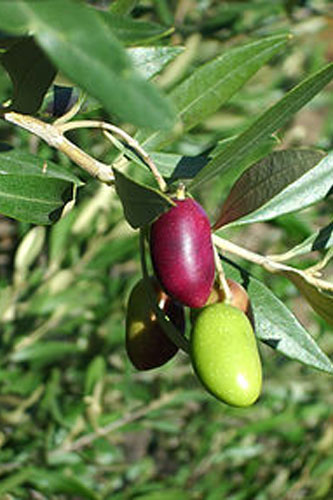 Lucques Estate Grown Olives
